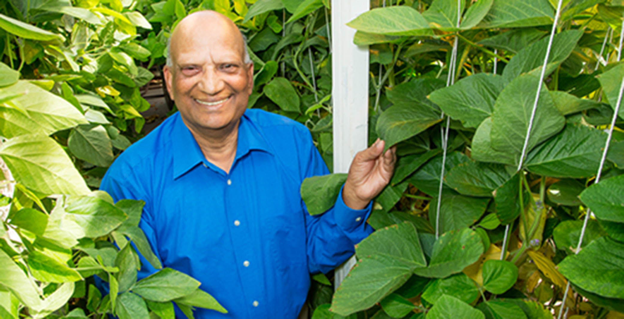 Research geneticist Ram Singh crossed soybean with a related wild, perennial plant from Australia, introducing new genetic diversity to the soybean plant. Photo by L. Brian Stauffer.
